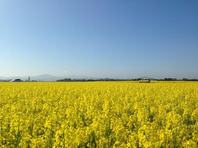 滝川市 菜の花