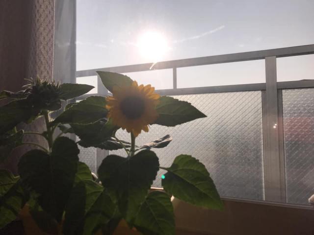 山田さんがベランダで育てているひまわりの花